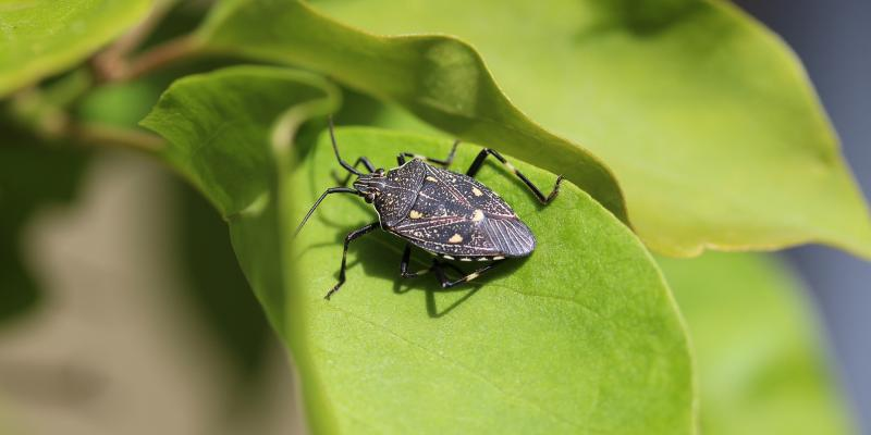 stinkbug on a green leaf in the woods