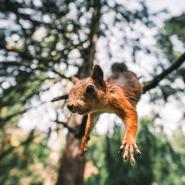 flying squirrel jumping off tree