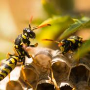 two wasps perched on their nest